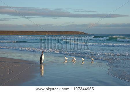 King Penguin on a Beach