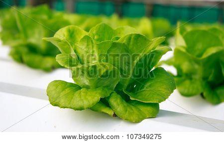 Fresh Butterhead Salad Lettuce ,organic Fram