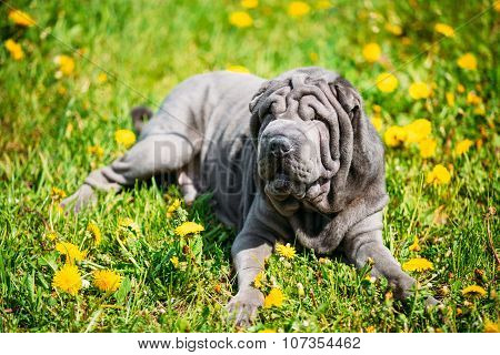 Blue Shar Pei Dog In Green Grass in Park Outdoor.