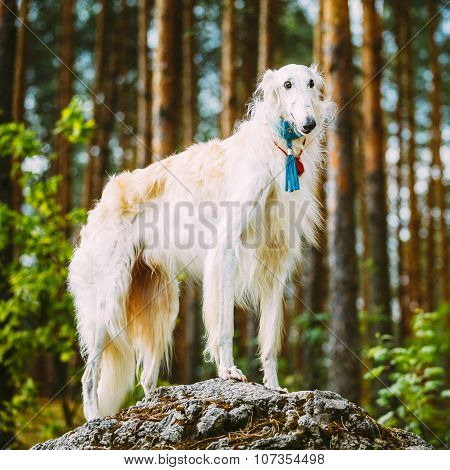 White Russian Borzoi, Hunting Dog standing on a rock in spring f