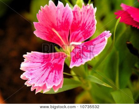 Carnation Flowers Of Different Colors