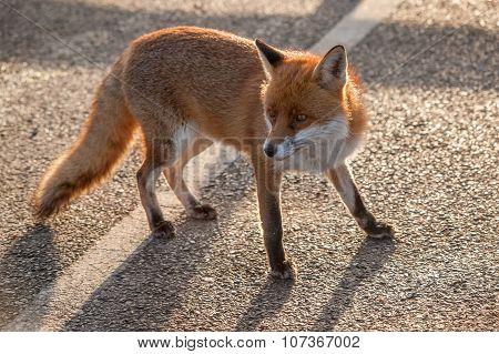 Fox with head turned