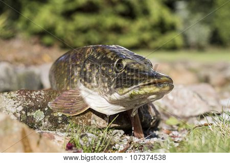 Pike On A Grass Background