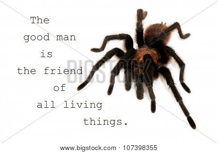 The good man is the friend of all living things - quote with an image of an Oklahoma Brown Tarantula poster