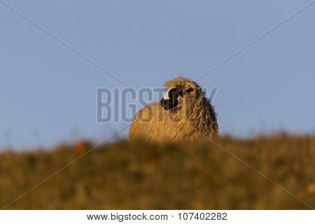 Staring Sheep