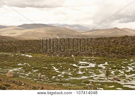 Llama And Alpaca In A Field
