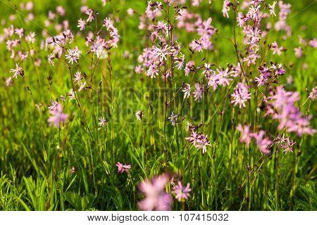 Ragged Robin (lychnis Flos-cuculi) Flowers