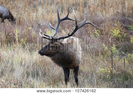 Bull Elk With Barbed Wire In Antlers