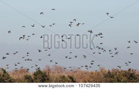Flock of Shoveler Ducks