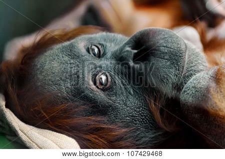 orangutan portrait close-up looking at camera