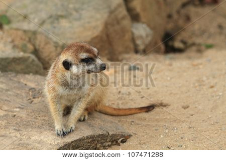 Small Meercat Resting