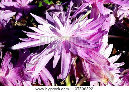 Colchicum autumnale 'Waterlilly'