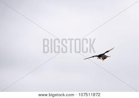 Flying Atlantic Puffin, Fratercula Arctica