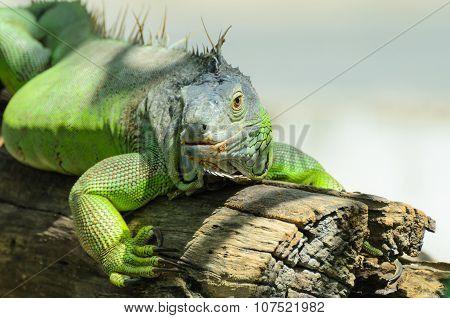Giant Green Iguana Close Up