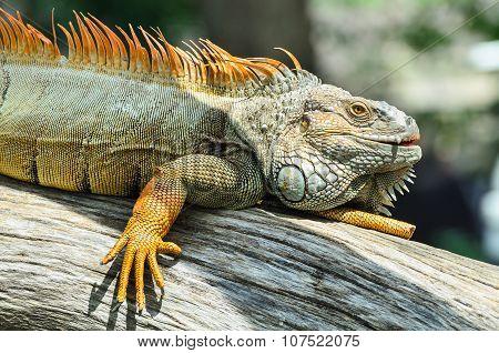 Giant  Iguana Close Up