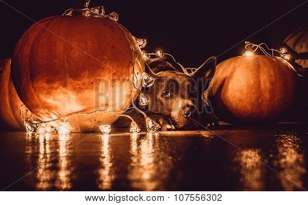 A Dog and Halloween Pumpkins
