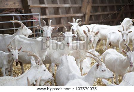 Many White Goat