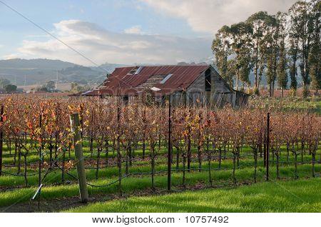 Autumn Vineyard After The Harvest