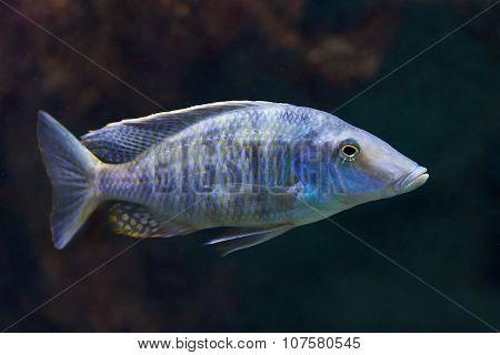 Mylochromis Sp (lateristriga Makanjila)