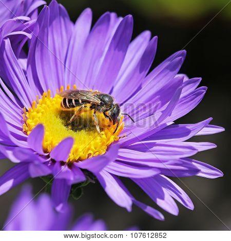 Garden flower Alpine Aster (Aster alpinus)