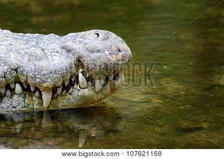Crocodile Head In Water