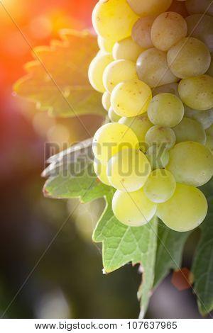 Beautiful Lush White Grape Bushels Vineyard in The Afternoon Sun.