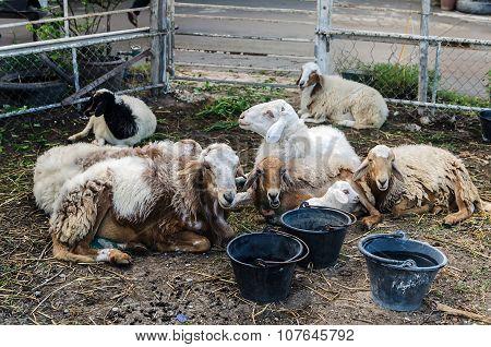 Sheep and baa-lamb