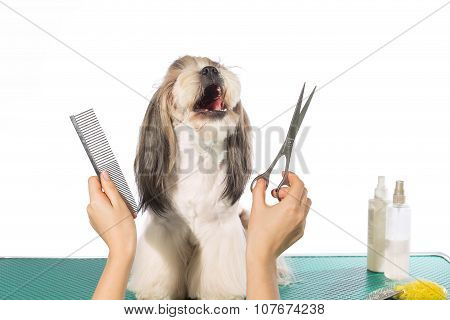 Shih-tzu At The Groomer's Hands With Comb And  Scissors