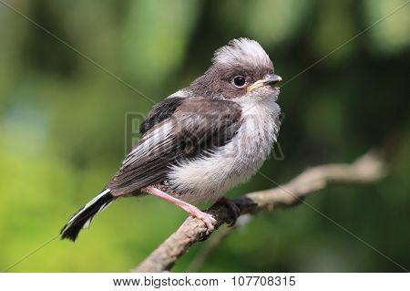 Young Bird Aegithalos Caudatus
