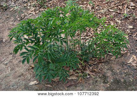 Konjac Plant