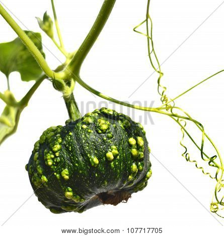 Small Green Pumpkin