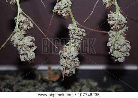Medical Marijuana Buds Hanging To Dry