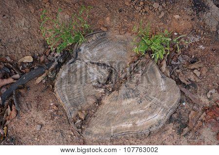 Stump Of Tamarind Tree