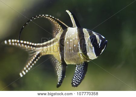 Banggai Cardinalfish Or Pterapogon Kauderni Fish.
