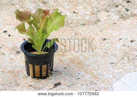 Young Red Batavia Lettuce