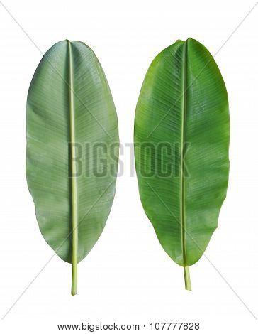 Fresh Banana Leaf Isolated On White Background.