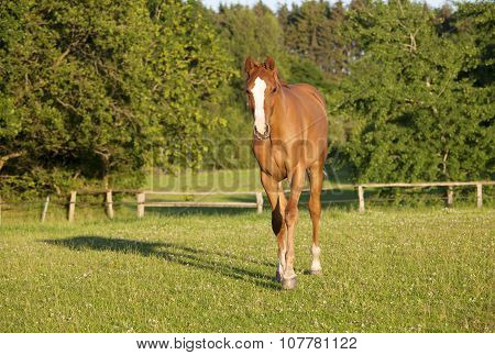 Young Holsteiner Horse On Pasture