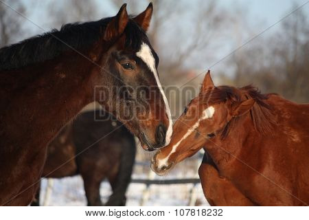 Two Horses Nuzzling Each Other