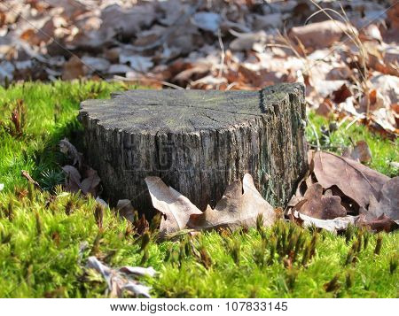 Old tree stump surrounded by moss