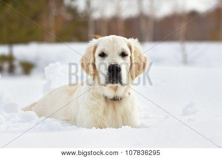 Labrador retriever puppy dog in the winter