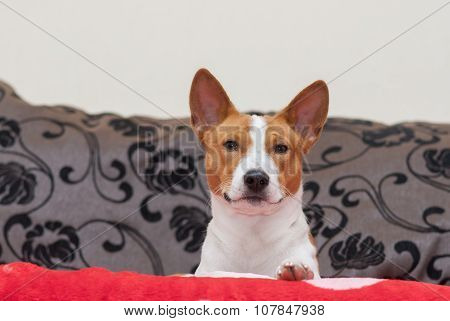 portrait of royal basenji looking from its throne-sofa