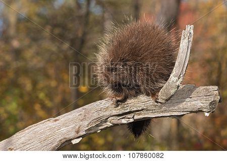 Porcupine (Erethizon dorsatum) Looks Left from Branch - captive animal poster