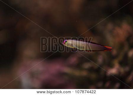 Purple cap firefish, Nemateleotris decora