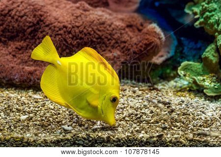 Yellow tang searching for food on the gravel bottom in saltwater aquarium of Monaco Oceanographic Museum. poster