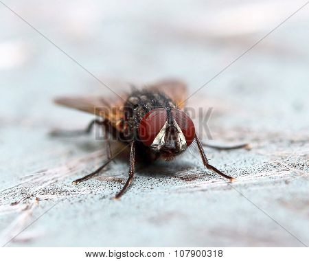 Fly Red Eyes Macro
