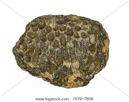 Petrified hexacorallia is in solid rock