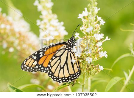 Female Monarch butterfly on a white Butterfly Bush flower cluster