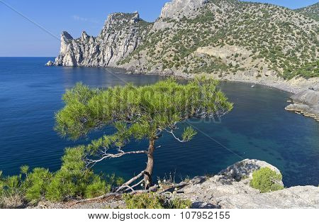 Small Pine On The Cliff Above The Sea.