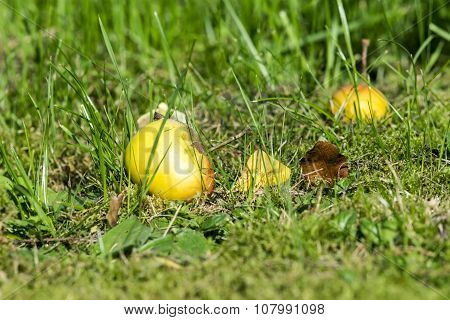 Windfall Apple In The Green Grass