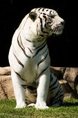 white tiger enjoying his day and having a great afternoon poster